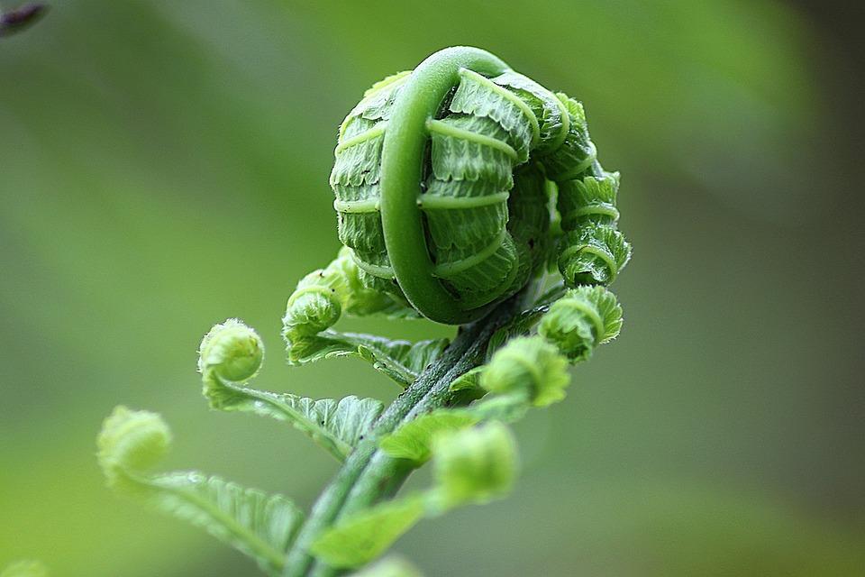Fern, Leaf, Roll, Nature, Natural, Botanical, Organic