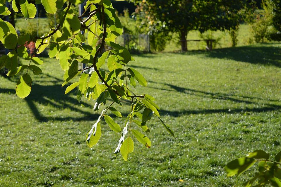 Walnut, Nature, Leaf, Leaves, Summer, Park, Orchard