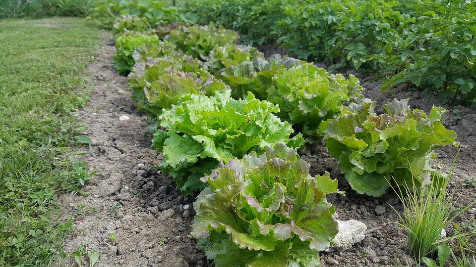 Plant, Farm Agriculture, Nature, Food, Leaf