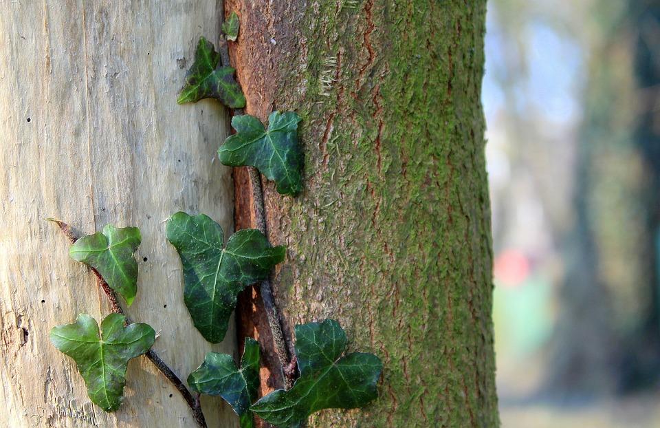 Ivy, Creeper, Tree, Nature, Leaf, Plant, Green