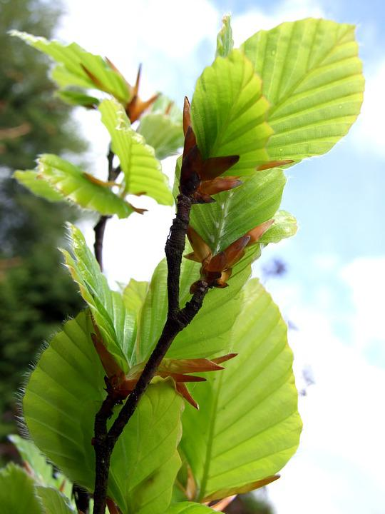 Beech, Green, Leaf, Nature, Foliage, Plant, Plants