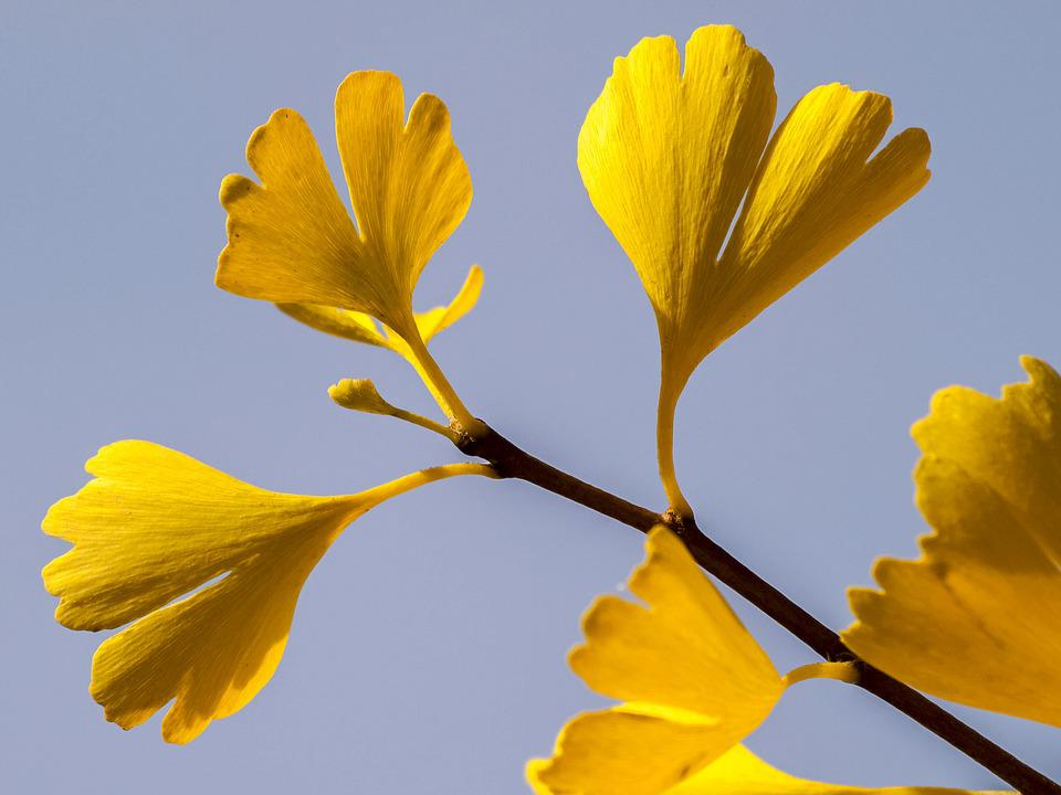 Leaf, Gingko, Tree, Nature