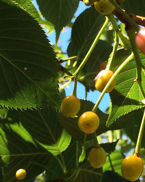 Cherry Blossoms, Leaf Of Cherry Tree, Cherries, Yellow