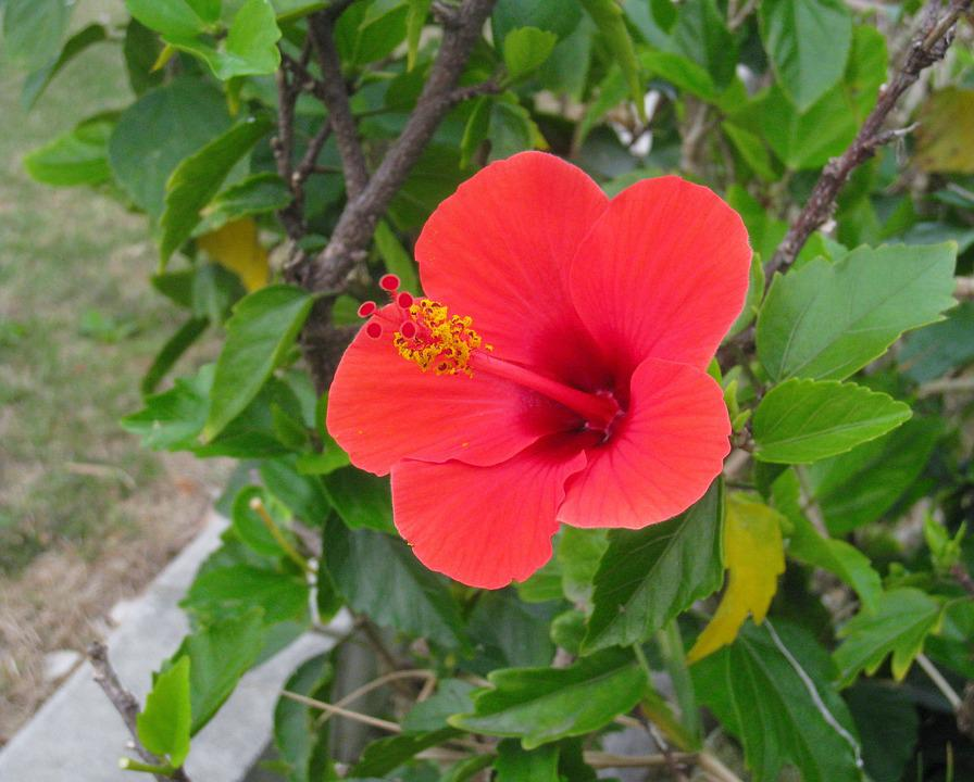 Hibiscus, Red, Leaf, Green, One Flower, Ishigaki Island
