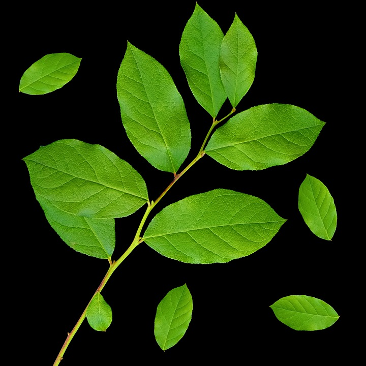 Leaf, Plant, Green Leaves, Branch, Branch Of Leaves