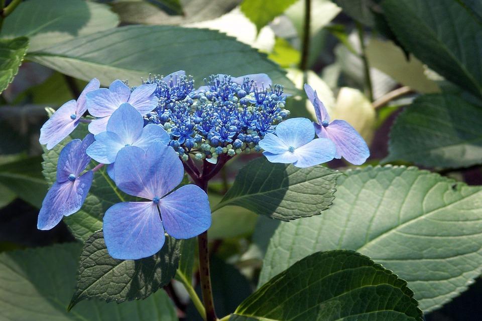 Hydrangea, Lace Leaf, Flower, Leaf, Floral, Plant, Blue