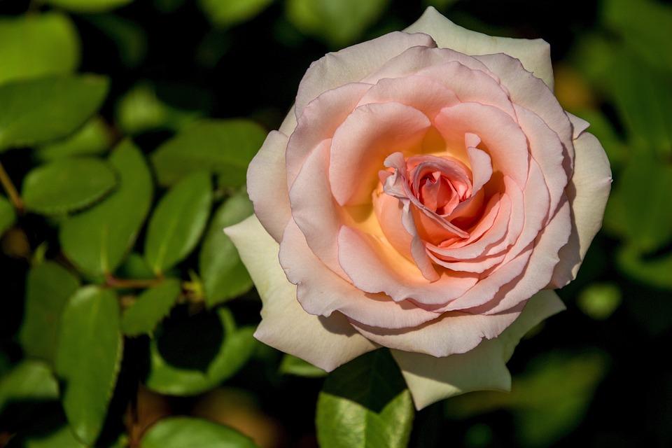 Flower, Rosa, Petal, Plant, Garden, Leaf, Nature