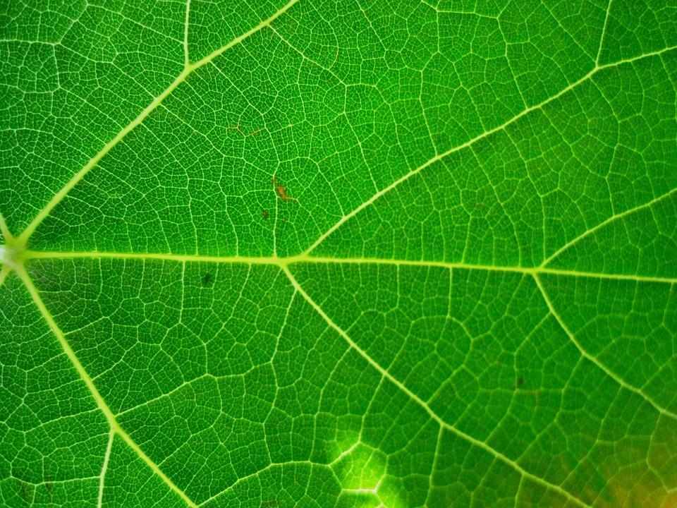Leaf, Bright, Veined, Garden, Plant, Natural, Botanical