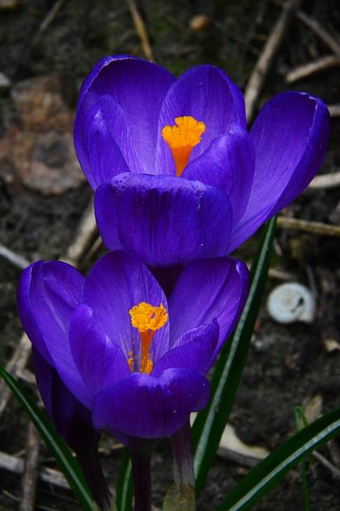 Nature, Flower, Plant, Leaf Plants, Season, Crocus
