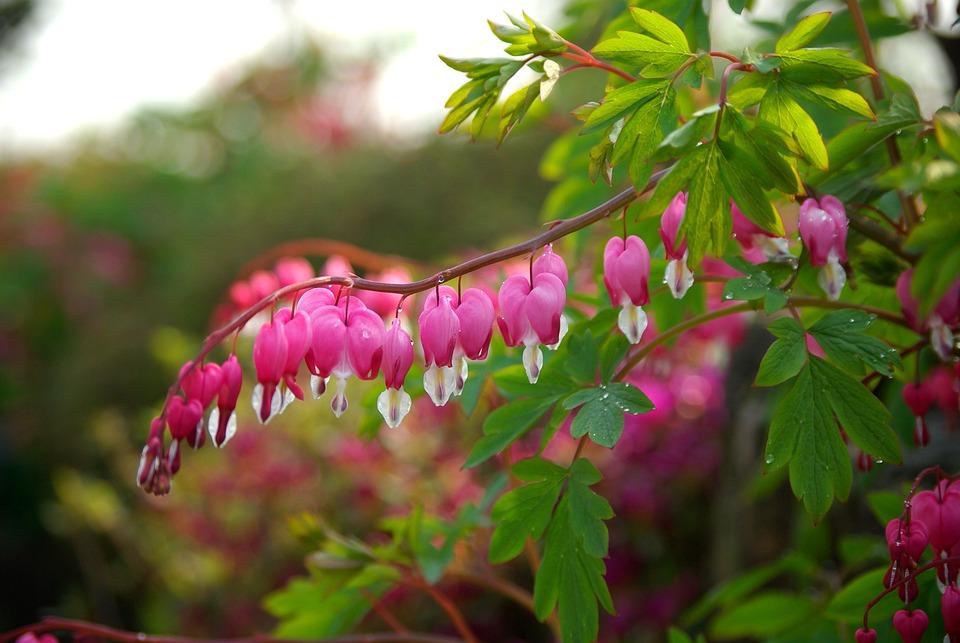 Free photo Leaf Plants Nature Garden Bleeding Heart Flowers - Max Pixel