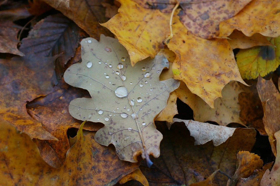 Leaf, Autumn, Rain, Yellow, Leaves, Dew, Oak, дуб
