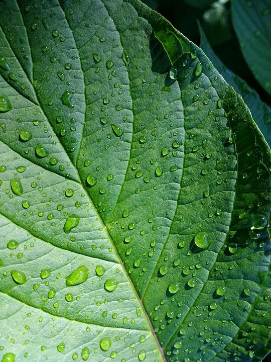 Leaf, Green, Plant, Leaves, Green Leaf, Rain, Raindrop