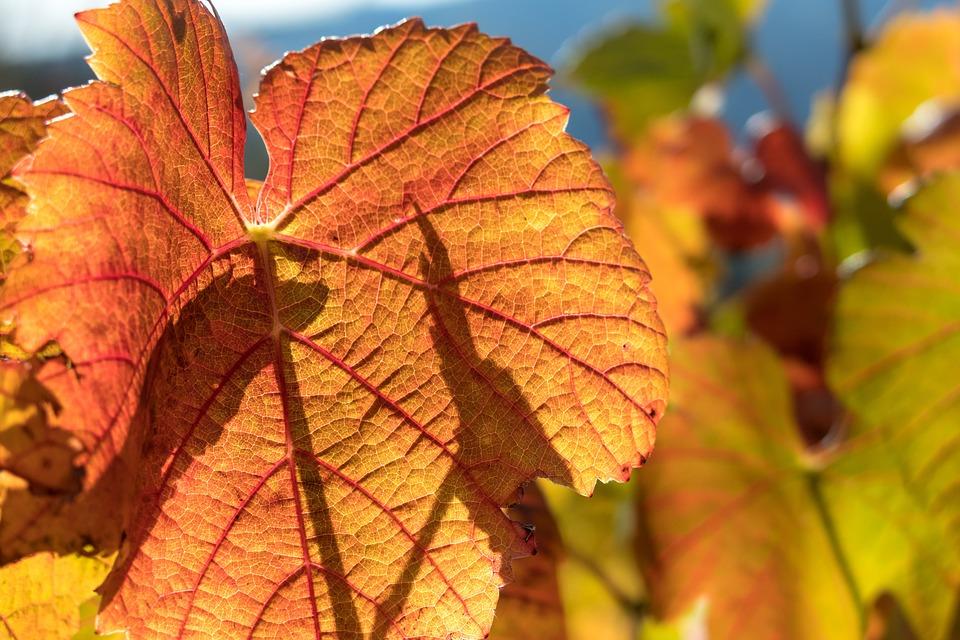 Vine, Leaf, Wine, Structure, Veins, Rebstock, Vineyard