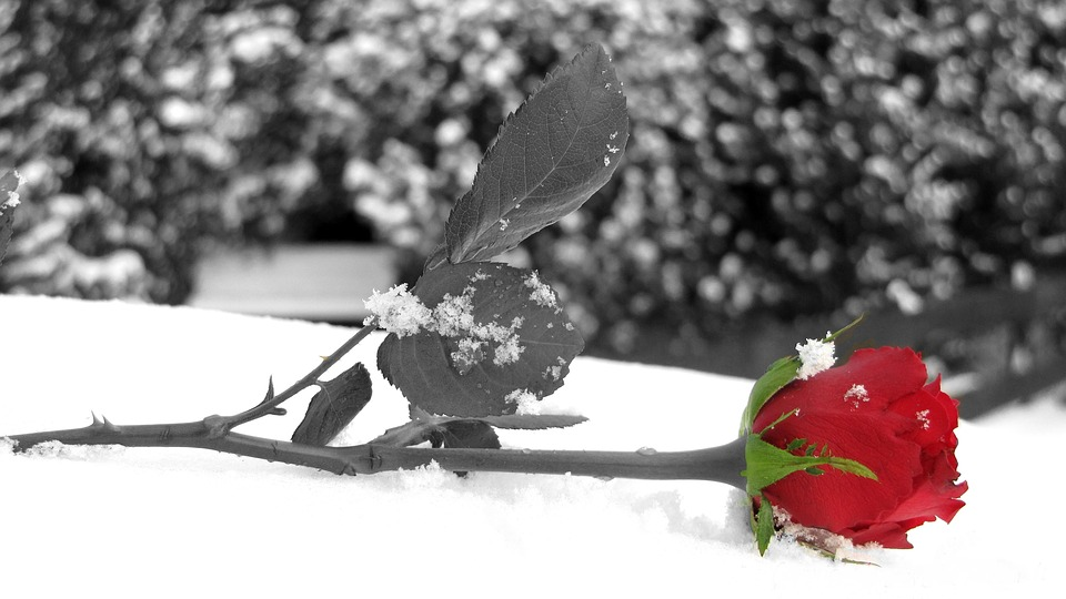 Rose, Red, Color Key, Flower, Leaf, Snow, Winter