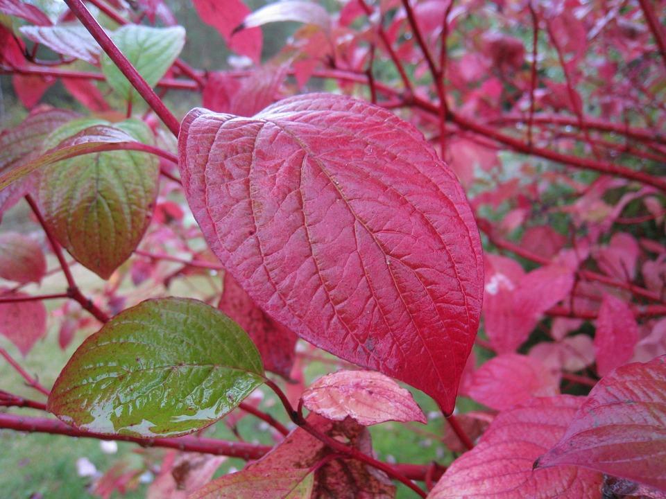 Autumn, Leaf, Red, Green, Garden, Bush
