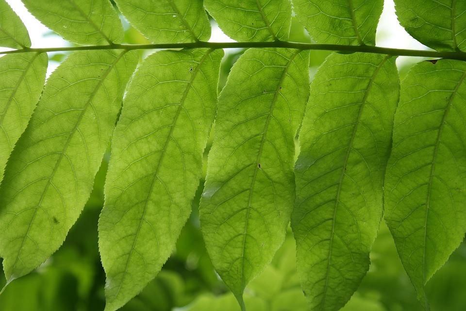 Leaf, Green, Leaf Fronds, Back Light, Leaf Ribs