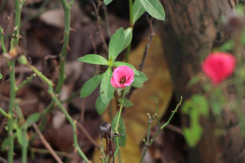 Rose, Deadwood, Branch, Leaf