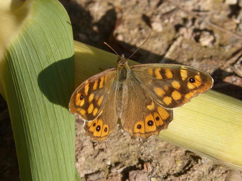 Butterfly Saltacercas, Leaf, Butterfly, Saltacercas
