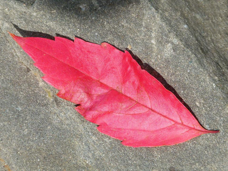 Red Leaf, Autumn, Slate, Leaf