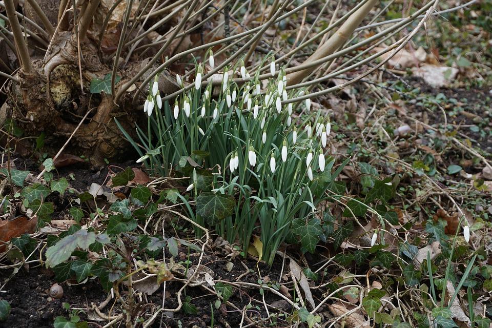 Snowdrop, Frühlingsblüher, Flower, Nature, Plant, Leaf