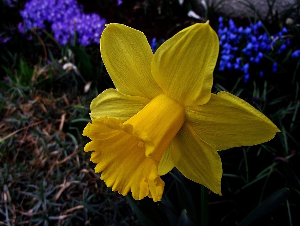 Nature, Flower, Narcissus, Spring, Plant, Garden, Leaf