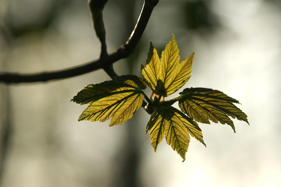 Leaf, Nature, Flora, Outdoors, Tree, Spring, Growing