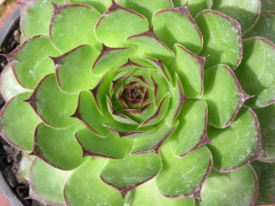Succulent, Cactus, Green, Leaf, Leaves, Closeup, Fresh