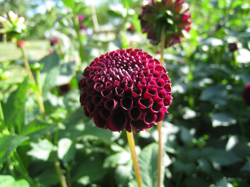 Dahlia, Dark Red, Leaf, Green, Summer, Garden