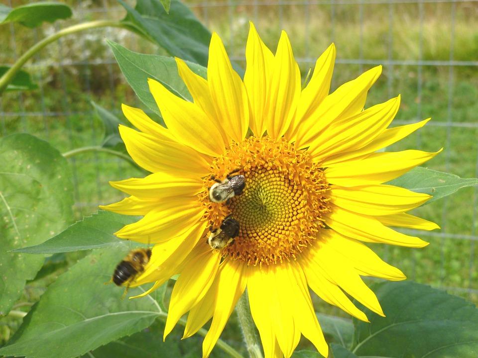 Nature, Summer, Flora, Flower, Leaf, Sunflower, Bee