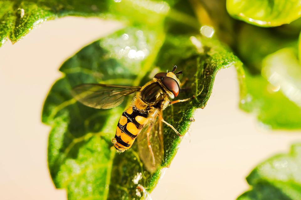 Hoverfly, Insect, Leaf, Animal, Fly, Wings, Syrphid Fly