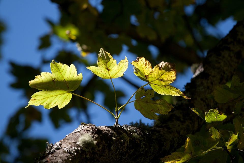 Leaf, Nature, Plant, Tree, Season, Sun