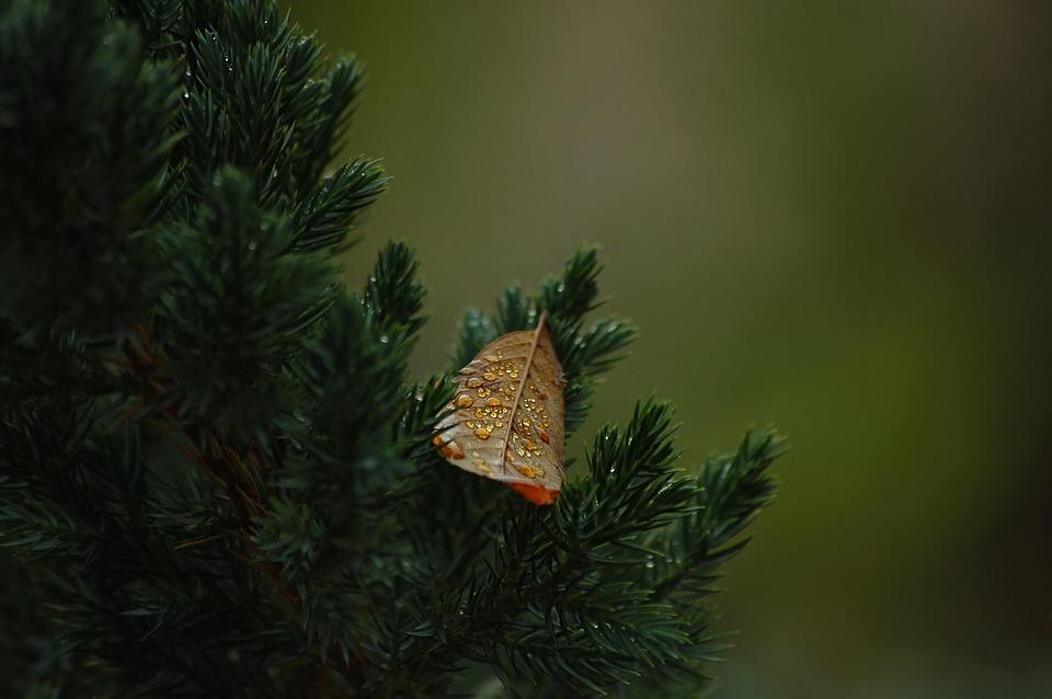 Leaf, Tree, Sheet, The Lone, Rosa, Golden, Thuja