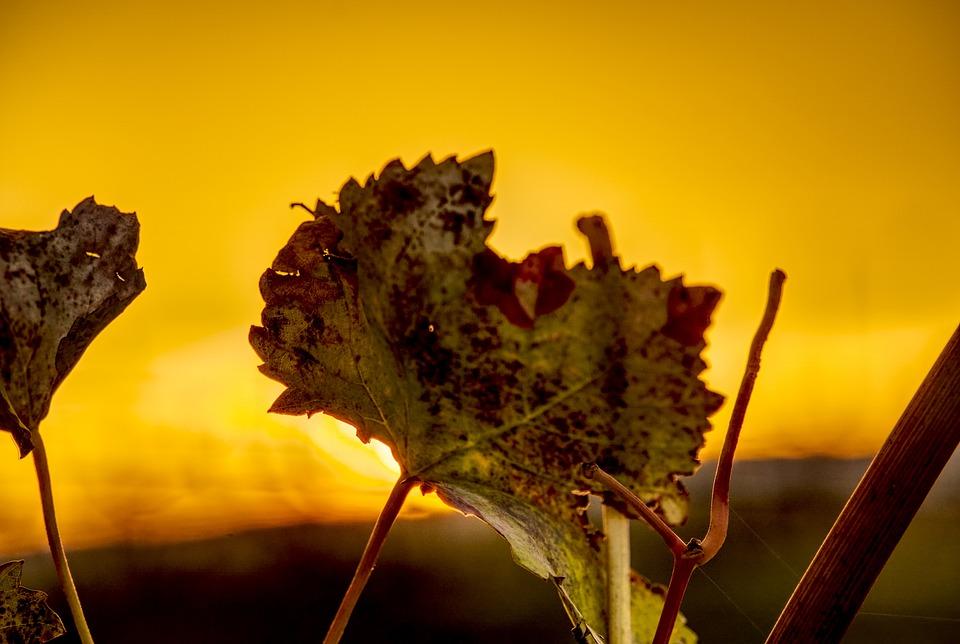 Leaf, Grapevine, Close Up, Macro, Sunset, Twilight