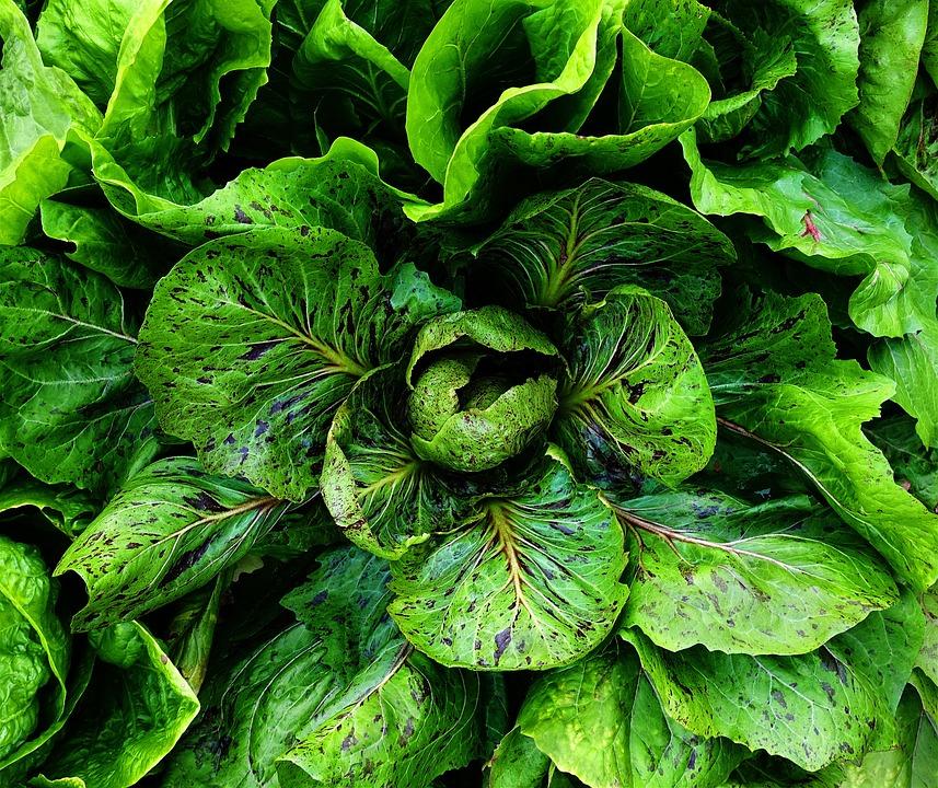 Chicory, Salad, Leaves, Leaf, Foliage, Vegetables