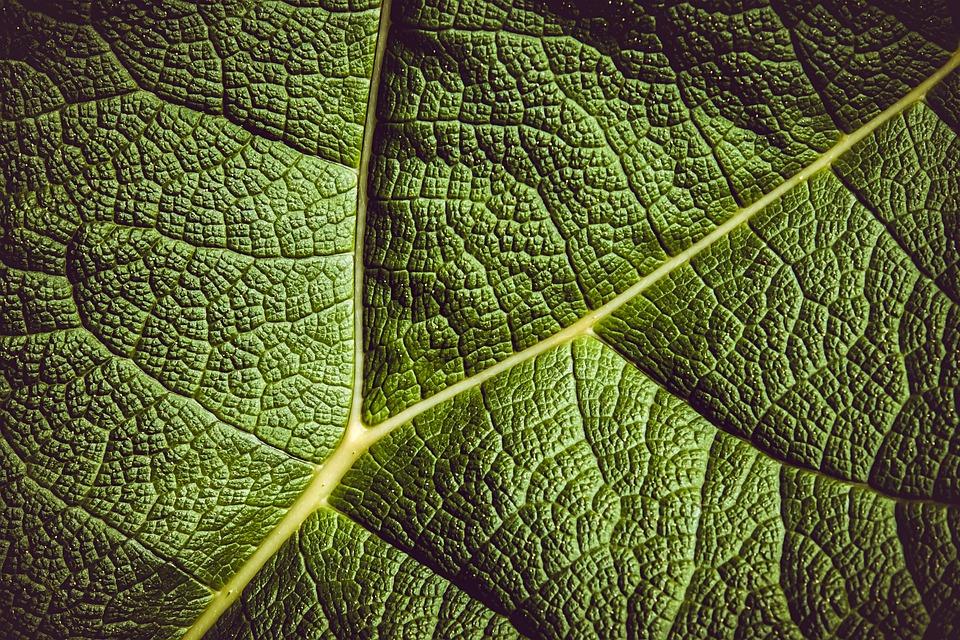 Leaf, Mammoth Sheet, Giant Leaves, Leaf Veins, Plant