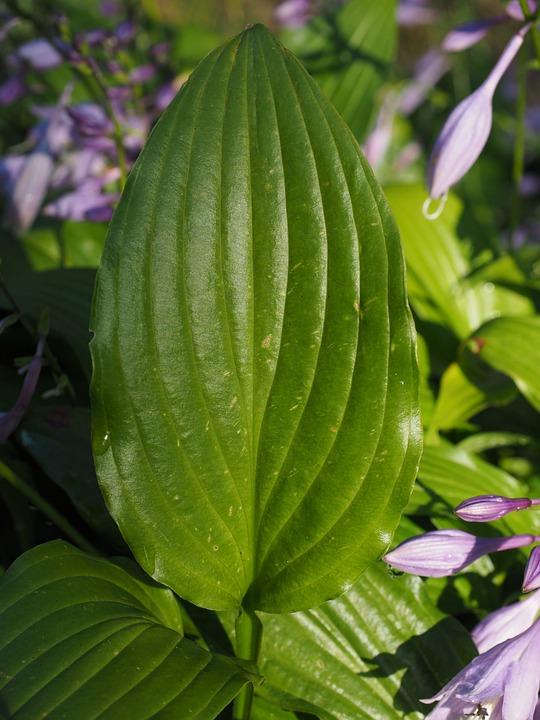 Leaf, Green, Leaf Veins, Plant, Plantain Lily