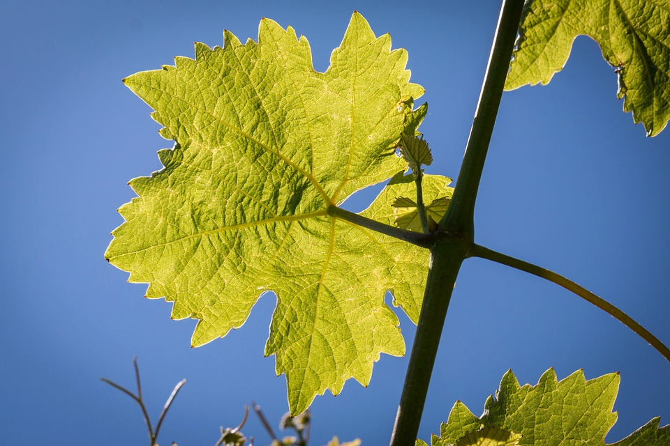 Wine, Leaf, Vine, Wine Leaf, Structure, Winegrowing