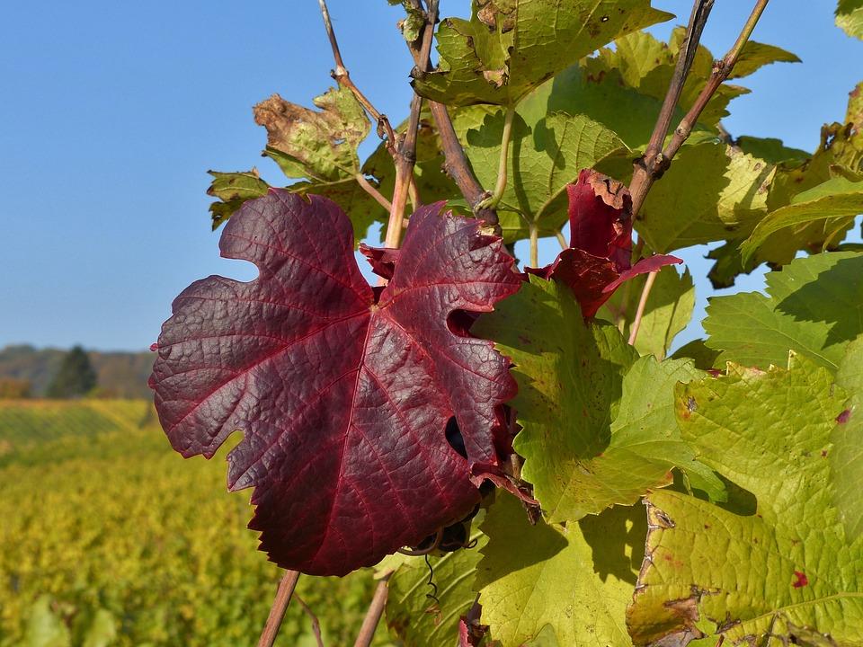 Autumn, Vineyard, Leaf, Colorful, Golden October