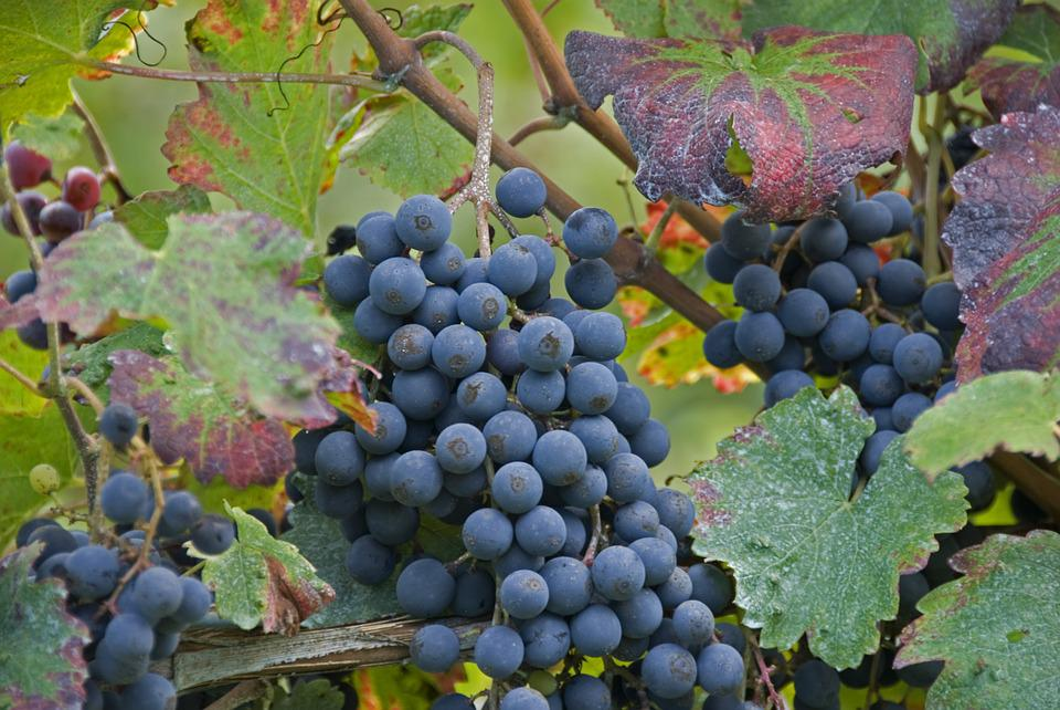 Vintage, Grapes, Screw, Vineyard, Nature, Leaf, Hills