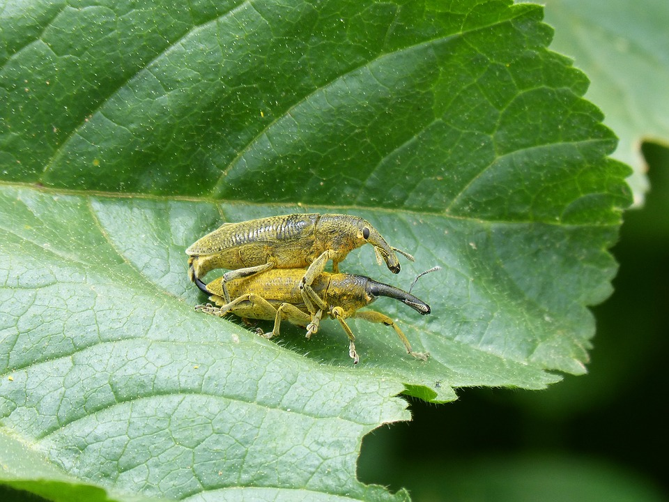 Weevils Of The Mauves, Beetle Mallows, Leaf