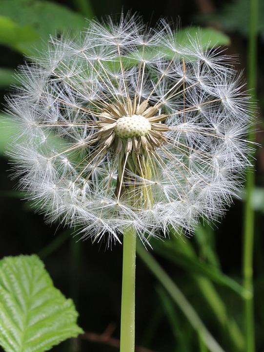 Dandelion, Green, Flyer, White, Fly, Nature, Leaf