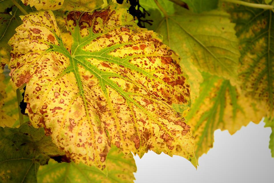 Autumn, Wine Leaf, Fall Foliage, Leaf, Leaves