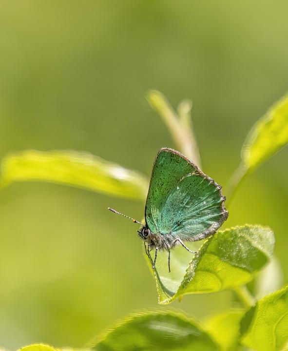 Green Hairstreak Butterfly, Butterfly, Leaf, Wings