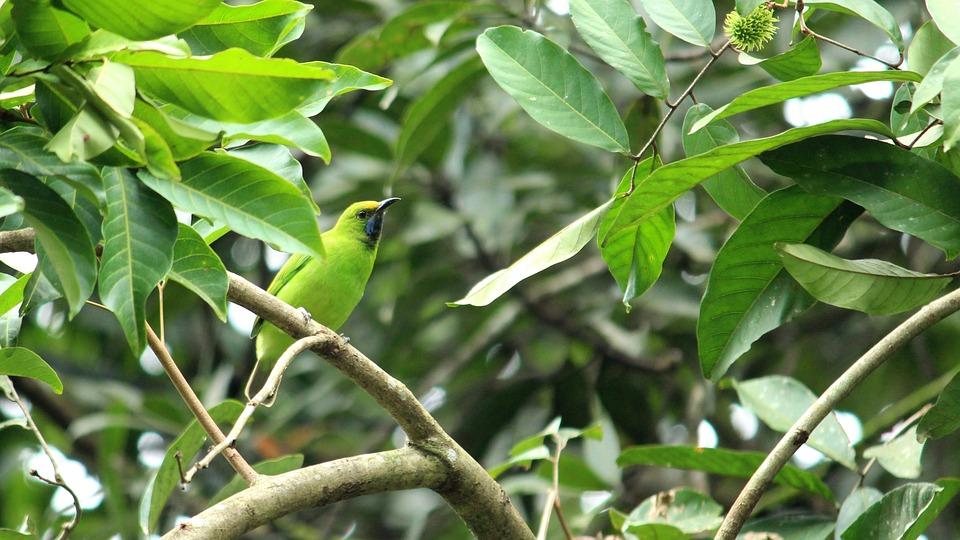 Bird, Leafbird, Leaf, Green, Golden, Blue, Black, Head
