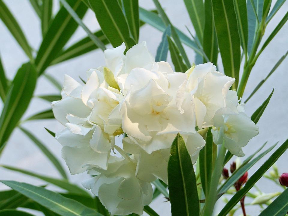 Free photo leander white flowered tropical plants max pixel leander tropical plants white flowered mightylinksfo