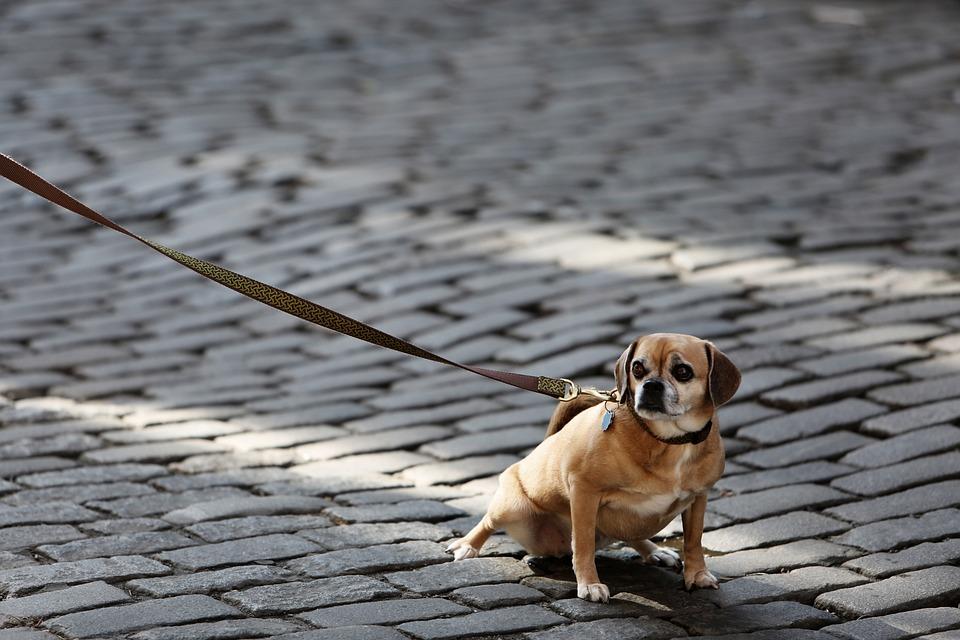 Dog, Pet, Leash, Animals, Cobblestone