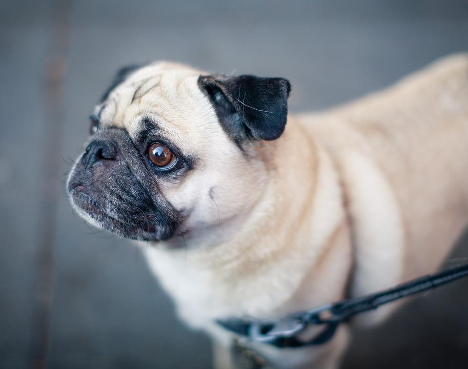Animal, Dog, Dog Collar, Leash, Pet, Pug