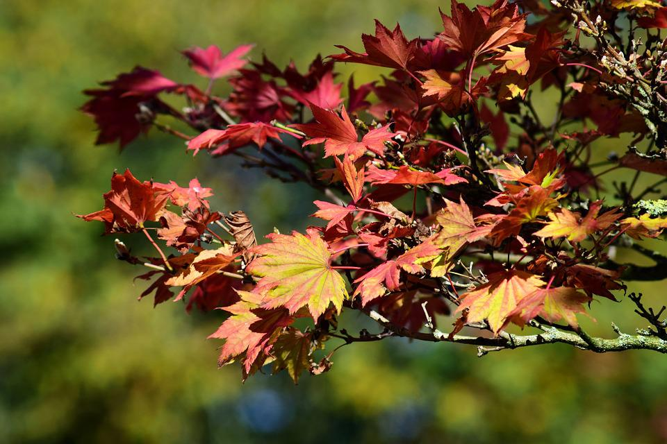Japanese Fire Maple, Aureum, Autumn, Leaves, Colorful