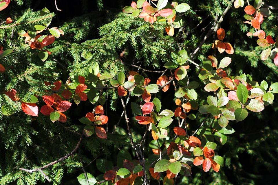 Autumn, Leaves, Spruce, Nature, Trees, Autumn Leaf
