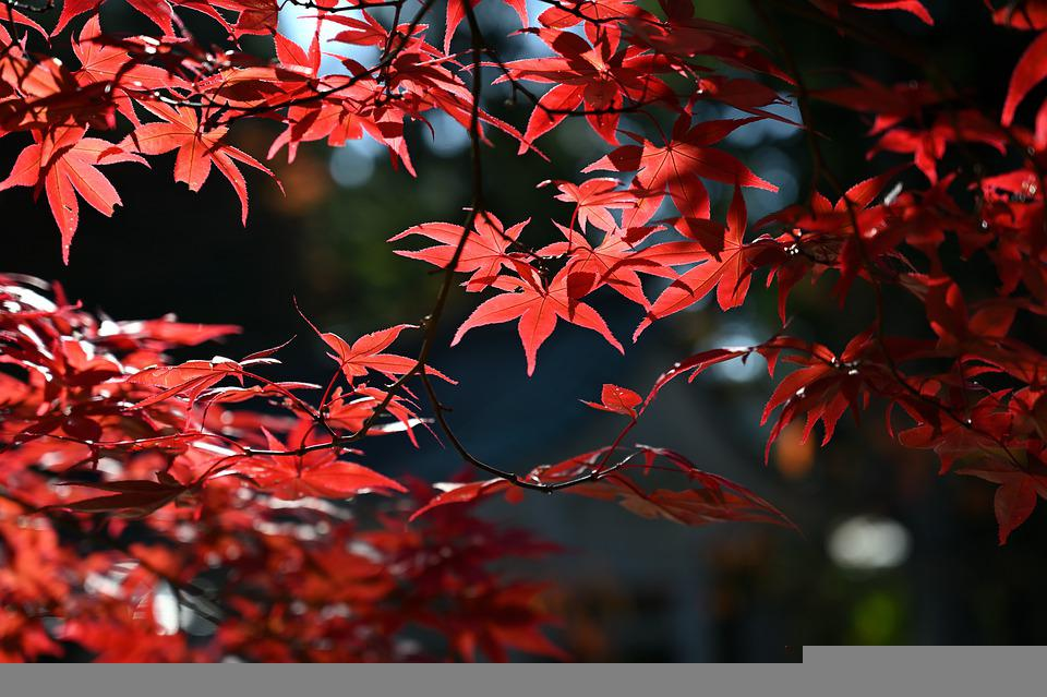 Maple, Autumn, Leaves, Maple Leaves, Autumn Leaves